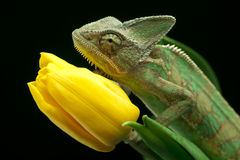 Chameleon sitting on a tulip Royalty Free Stock Photo