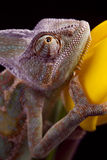 Chameleon sitting on a tulip Stock Photography