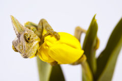 Chameleon sitting on a tulip Royalty Free Stock Image