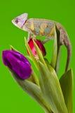 Chameleon sitting on a tulip Royalty Free Stock Photos