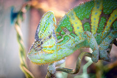 Chameleon is sleeping on a branch. Royalty Free Stock Photography