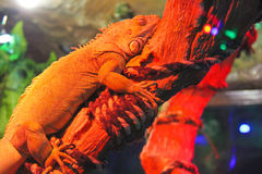 Chameleon is sleeping on the dry branch Stock Images
