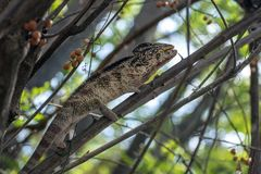 A chameleon species that is endemic to wild nature Madagascar. Close up royalty free stock photo