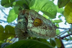 A chameleon species that is endemic to wild nature Madagascar. Close up royalty free stock images