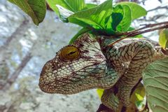 A chameleon species that is endemic to wild nature Madagascar. Close up stock photos