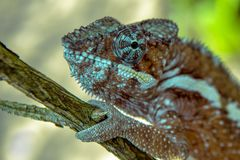 A chameleon species that is endemic to wild nature Madagascar. Close up stock photography