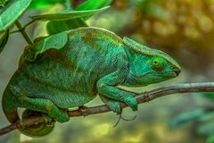 A chameleon species that is endemic to wild nature Madagascar. Close up stock image