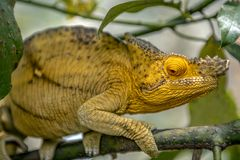 A chameleon species that is endemic to wild nature Madagascar. Close up stock photo