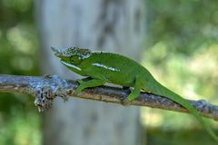 A chameleon species that is endemic to wild nature Madagascar. Close up royalty free stock photos