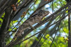 A chameleon species that is endemic to wild nature Madagascar. Close up royalty free stock photography