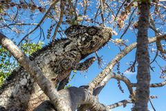 A chameleon species that is endemic to wild nature Madagascar. Close up stock images