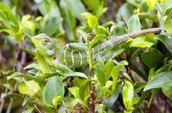 A chameleon in Sri Lanka Stock Photos