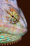 Chameleon Stare. A veiled chameleon is staring at the camera Royalty Free Stock Images