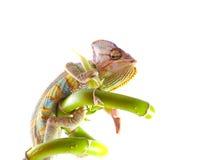Chameleon on stem. Isolation on white Stock Images