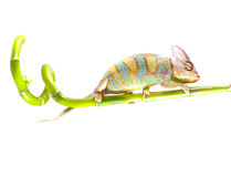 Chameleon on stem. Stock Photo