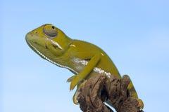 Chameleon on stick Royalty Free Stock Image