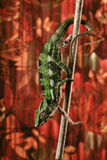 Chameleon on a stick. A shot of a   chameleon Stock Photography