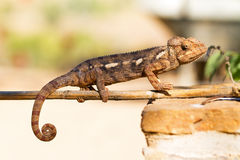 Chameleon on a stick Stock Photography