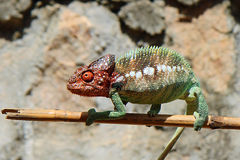 Chameleon on a stick, Madagascar. Chameleon posing on a stick, Madagascar, Africa Stock Photos