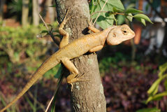The chameleon stretch his legs. And catch the tree to look at something royalty free stock image