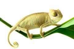 Chameleon sul fiore. immagine stock libera da diritti