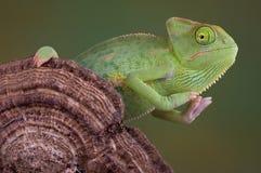 Chameleon sul fungo Immagine Stock