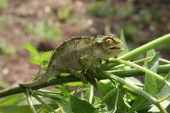 Chameleon sulla filiale Immagine Stock