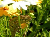 Chameleon in Summer flowers 1 Stock Photo