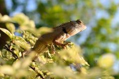 The chameleon sunbathe on the branch. The chameleon climb the branch to sunbathe Stock Image