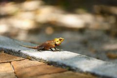 Chameleon sunbathe in morning with blur Stock Photo