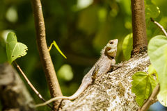 Chameleon sunbathe in morning with blur Royalty Free Stock Images