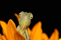 Chameleon and sunflower Stock Photo
