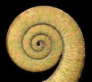 Chameleon tail Stock Image
