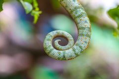 Chameleon Tail Royalty Free Stock Photography