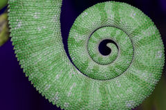 Chameleon tail. Rolled tail of a chameleon Stock Photography