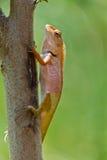 Chameleon tailandês do close up fotos de stock royalty free
