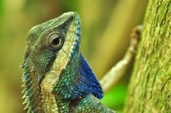 Chameleon tailandese Immagini Stock