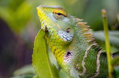 Chameleon and tea in Sri Lanka Stock Images