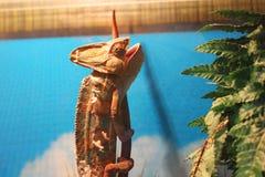 Chameleon in the terrarium royalty free stock photos