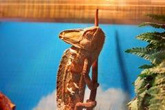 Chameleon in the terrarium stock photography