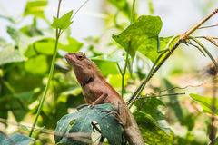 Chameleon Thailand in garden Stock Photos