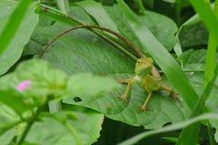 Chameleon at Thailand Royalty Free Stock Image