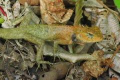 Chameleon at Thailand Royalty Free Stock Photo