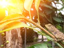 Chameleon in Thailand. Royalty Free Stock Photography