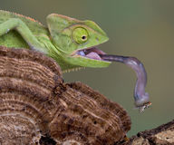 Chameleon tongue royalty free stock image
