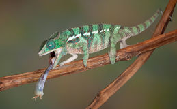 Chameleon tongue on cricket Stock Image