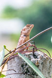 Chameleon in the top of column Stock Images