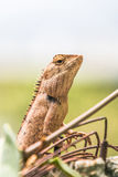 Chameleon in the top of column Royalty Free Stock Photos