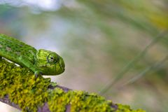A chameleon. On a tree stock images