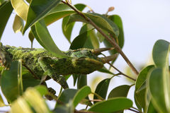 Chameleon in a tree. Male Jackson Chameleon (Chamaeleo jacksonii xantholophus) shows off its 3 horns while hiding in a tree stock image
